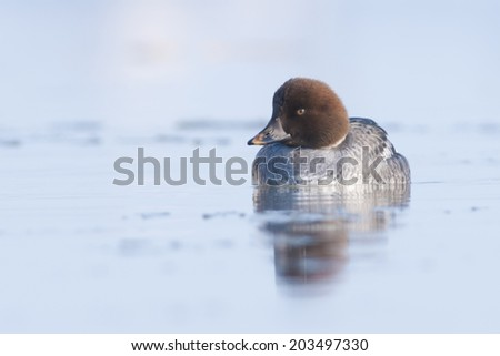 Goldeneye Duck in winter - stock photo