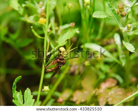Goldenrod crab spider (Misumena vatia) attacked assassin flies (Asilidae) - stock photo