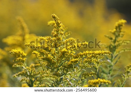 Goldenrod in bright sunlight. Shot in Kitchener, Ontario, Canada.  - stock photo