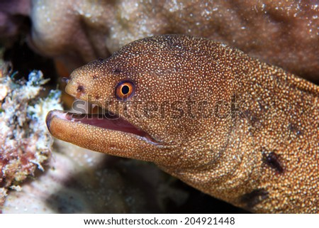 Goldentail moray eel (Gymnothorax miliaris) underwater in the coral reef of the caribbean - stock photo