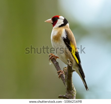Goldfinch, Carduelis carduelis - stock photo