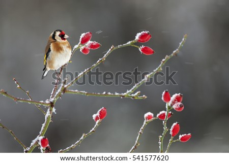 Goldfinch Carduelis carduelis on rose hips in snow