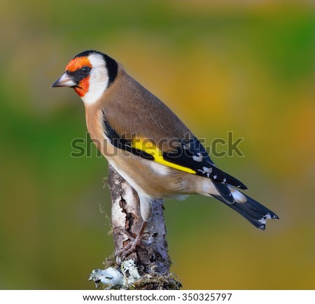 Goldfinch (Carduelis carduelis) perching on a stick with a colourful background.