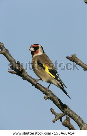 Goldfinch Carduelis carduelis, single bird on branch