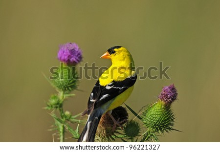 Goldfinch, male, perched on bull thistle plant