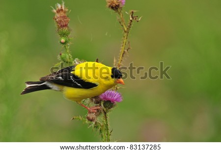 Goldfinch, male, perched on purple bull thistle flower