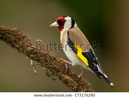 Goldfinch on a perch - stock photo