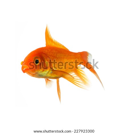 Goldfish Cold water fish
