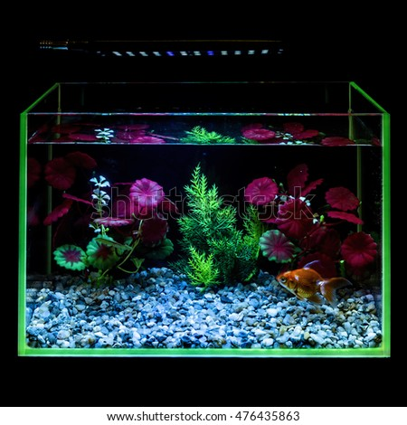 Goldfish in a night illuminated aquarium