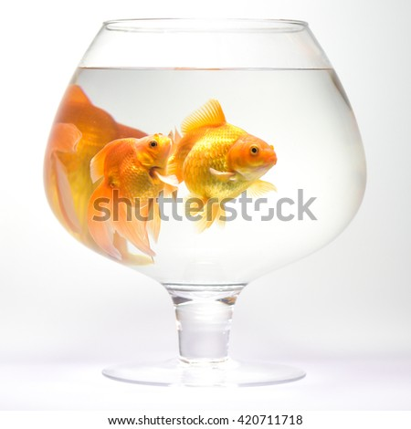 Goldfish in aquarium isolated on white background - stock photo
