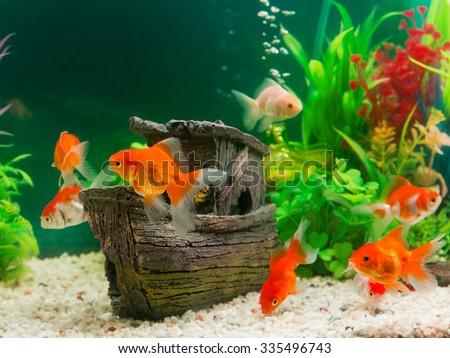 Luckypic 39 s portfolio on shutterstock for Aquarium 40l poisson rouge