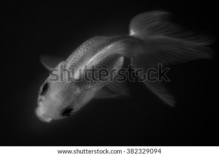 Goldfish is one of the most commonly kept aquarium fish (black and white tone)