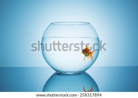 goldfish looks curious in a fishbowl - stock photo