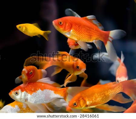 goldfish ( many )