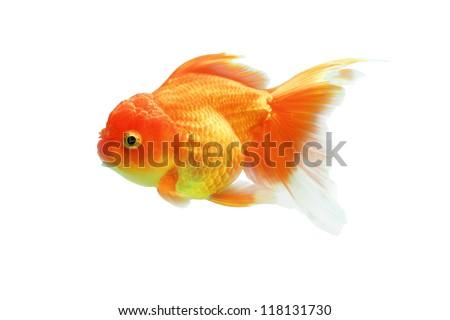 Goldfish on a white background. - stock photo