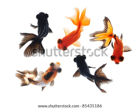 goldfish pet top view isolated on white background - stock photo