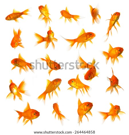 goldfish set collage isolated on white background - stock photo