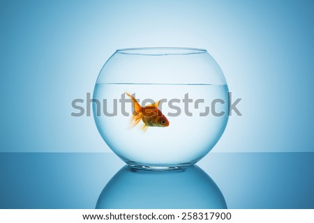 goldfish swims in a fishbowl on blue backgroun - stock photo