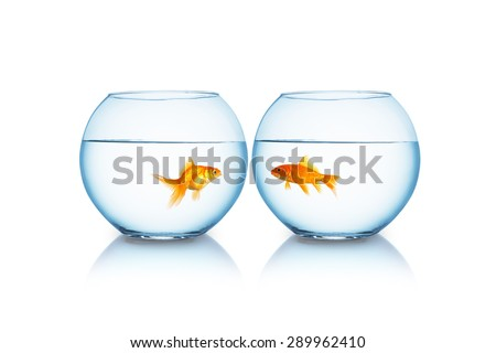 goldfishes look to each other in separated fishbowls - stock photo