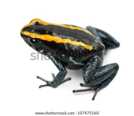 Golfodulcean Poison Frog, Phyllobates vittatus, against white background - stock photo