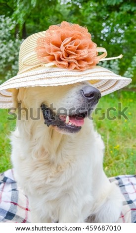 golgoldet retriever wearing a summer hat