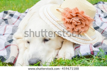 golgoldet retriever wearing a summer hat and sleeping in the park