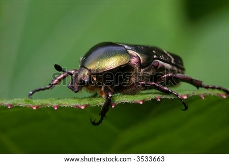 Goliath beetle - stock photo