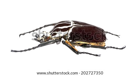 Goliath beetle (Goliathus goliathus) isolated against white background. - stock photo