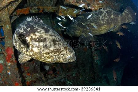 Goliath Grouper - stock photo