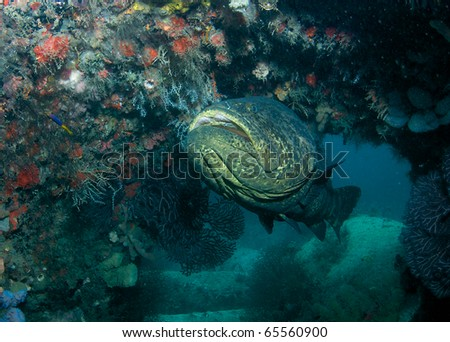 Goliath Grouper-Epinephelus itajara, making its home on an artificial reef in Palm Beach County, Florida. - stock photo