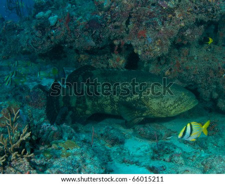 Goliath Grouper-Epinephelus itajara, under a reef ledge in Boca Raton, Florida. - stock photo
