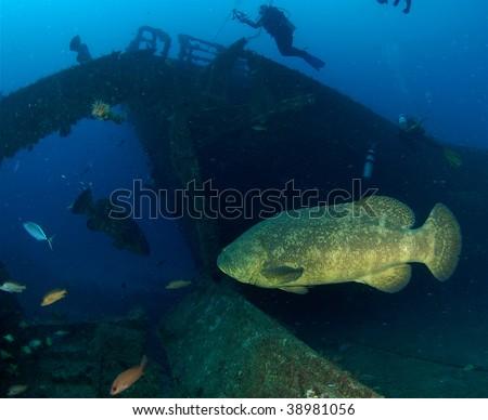 Goliath Grouper on the MV Castor - stock photo
