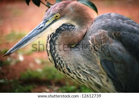 Goliath Heron - stock photo