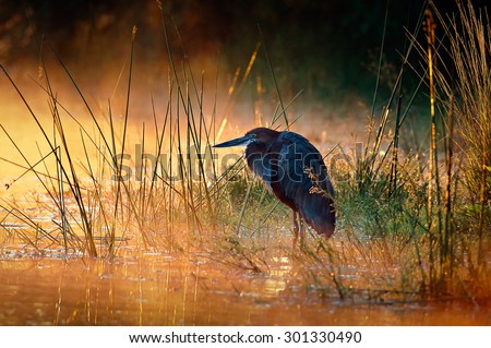 Goliath heron (Ardea goliath) with sunrise over misty river - Kruger National Park (South Africa) - stock photo