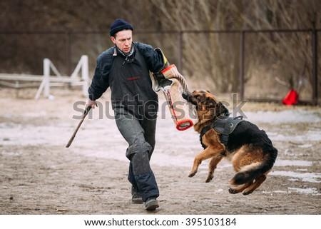 GOMEL, BELARUS - FEBRUARY, 20, 2016: German shepherd dog training. Biting dog. Alsatian Wolf Dog. Deutscher, dog - stock photo