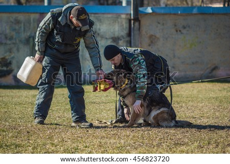 Gomel, Belarus - March 27, 2016: Dog handlers are trained German shepherd protection. Biting dog. Alsatian Wolf Dog. Deutscher, dog