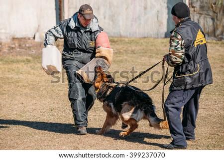 Gomel, Belarus - March 27, 2016: German shepherd dog training. Biting dog. Alsatian Wolf Dog. Deutscher, dog - stock photo
