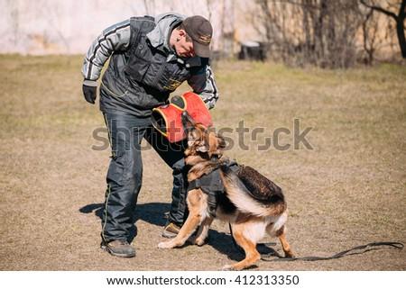 Gomel, Belarus - March 27, 2016: German shepherd dog training in Gomel Regional sports club and decorative dog-breeding. Biting Alsatian Wolf Dog. - stock photo
