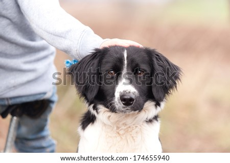 Good dog-close up shot of beautiful border collie dog with its owners hand resting on its head as it sits patiently waiting. - stock photo