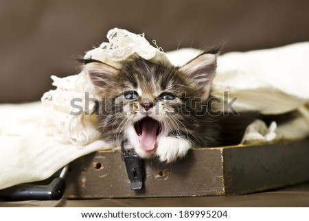 Good morning! Adorable maine coon kitten - stock photo