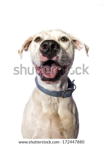 Goofy Pit bull mixed breed dog isolated on white background - stock photo
