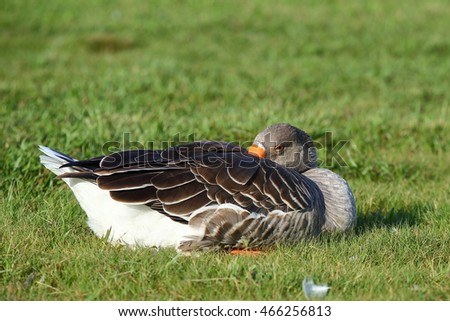 Goose against a green grassy background