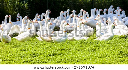 goose farm, Czech Republic - stock photo