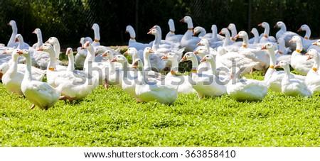 goose farm, Czech Republic - stock photo