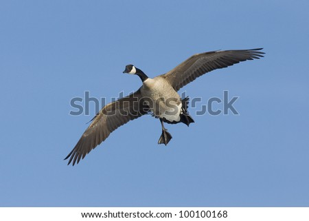 Goose Flying - stock photo