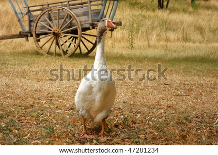 Goose in front of historic truck, dordogne, france