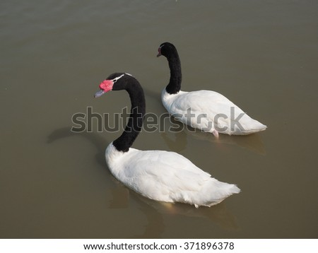 Goose is a large bird in the family Anatidae families as well as ducks, swans, and teal different species look similar to the Swan.
