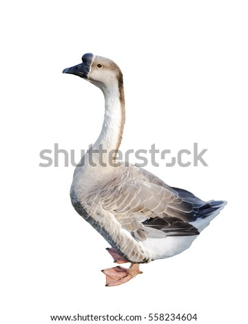 goose isolated on a white background