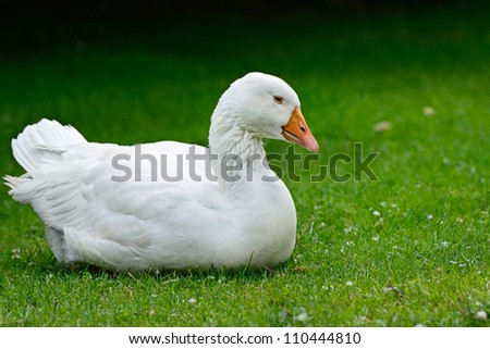 Goose resting on green grass.