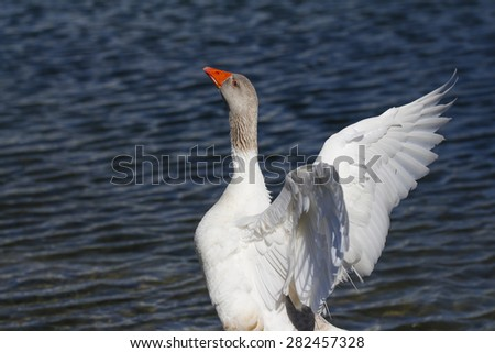 Goose standing on a mud flap stretching his wings. - stock photo